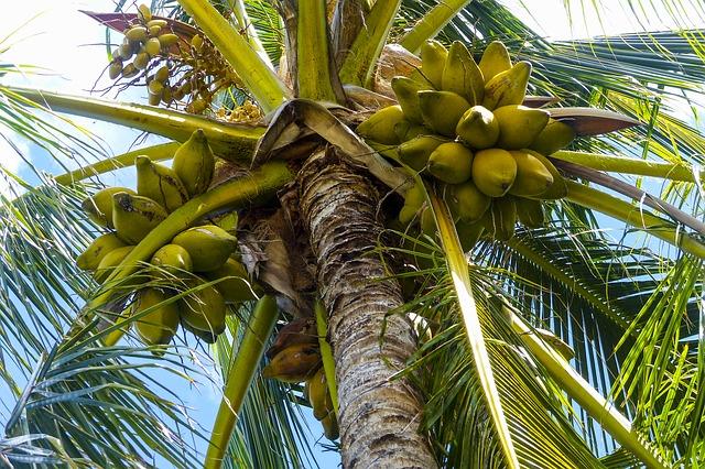 Kokosová palma